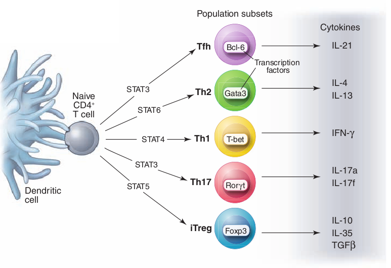 T Helper Cell Mepedia