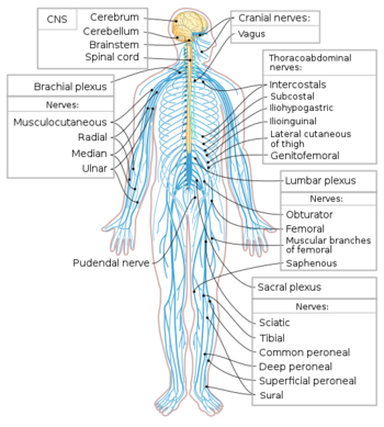 Nervous System Mepedia
