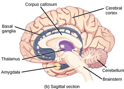 Diagram of brain showing Corpus callosum, cerebral cortex, cerebellum, brainsteam, amydala, thalamus, basal ganglia