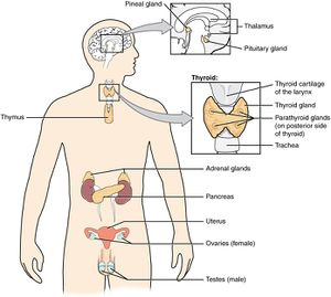 endocrine glands in the body