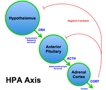 HPA axis.png