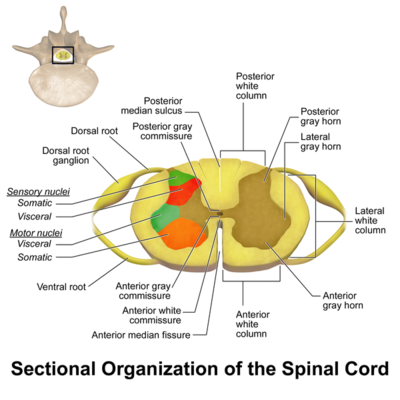 Spinal cord - MEpedia